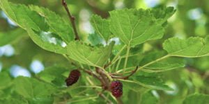 Morus alba, Maulbeerbaum, 1-Deoxynojirimycin (DNJ), natürlich gegen Diabetes Typ 2